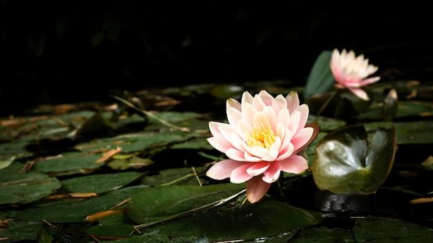 Hermosas flores de loto en el lago Foto gratis