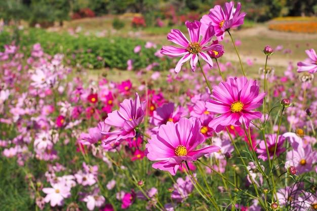 Hermosas Flores Rosadas Del Cosmos Que Florecen En Paisajes