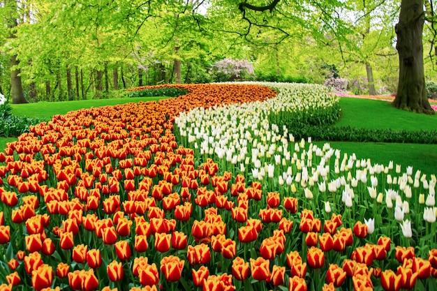 Hermosas flores de tulipanes de primavera en el parque en holanda Foto Premium