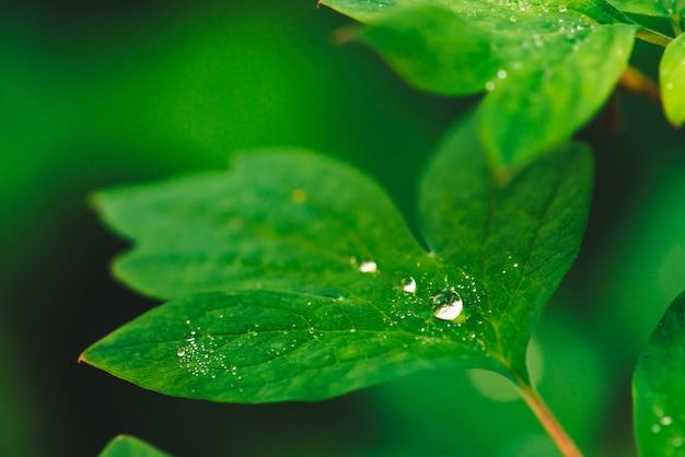 Hermosas hojas de color verde vivo de dicentra con gotas de rocío de cerca con copyspace. pura, agradable, agradable vegetación con gotas de lluvia en la luz del sol. telón de fondo de plantas con textura verde en tiempo de lluvia. hierba. Foto Premium