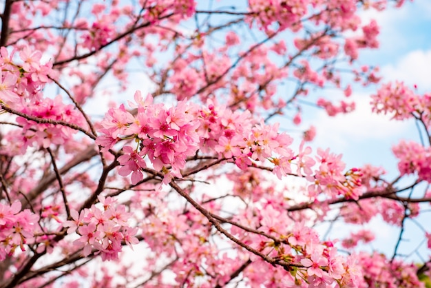 Hermoso árbol de cerezos en flor en plena floración contra un cielo nublado azul Foto gratis