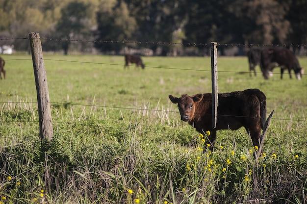 Hermoso becerro marrón de pie en el campo verde detrás de la cerca Foto gratis