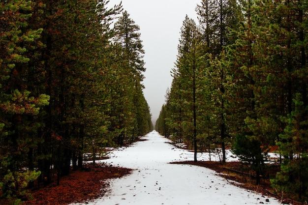 Hermoso bosque con pinos y un poco de nieve después del invierno Foto gratis