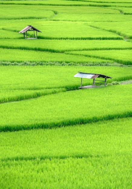 Hermoso campo de arroz en terrazas verdes Foto Premium