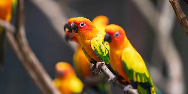 Hermoso colorido sol conure loro aves Foto Premium