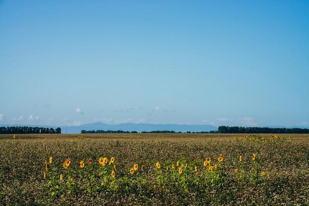 Hermoso paisaje escénico con girasoles cosechados en campo vacío bajo el cielo azul. algunos girasoles crecen entre campo vacío en el horizonte con árboles. plantación de flores de sol. tiempo de cosecha. Foto Premium