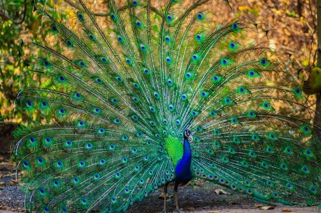 Hermoso pavo real indio macho mostrando sus plumas descargar fotos premium - Fotos de un pavo real ...