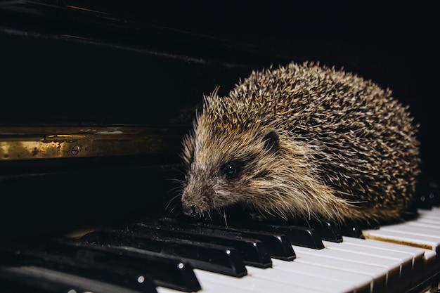 Un hermoso pequeño erizo gris se sienta en las teclas del piano. tocar el piano. escuela de música, concepto educativo, principio de año, creatividad. instrumento musical, clásico, melodía. bozal de primer plano. Foto Premium