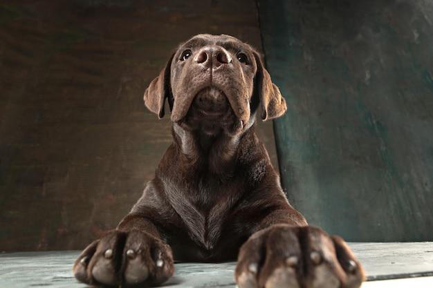 Hermoso retrato de un cachorro labrador retriever de chocolate Foto gratis