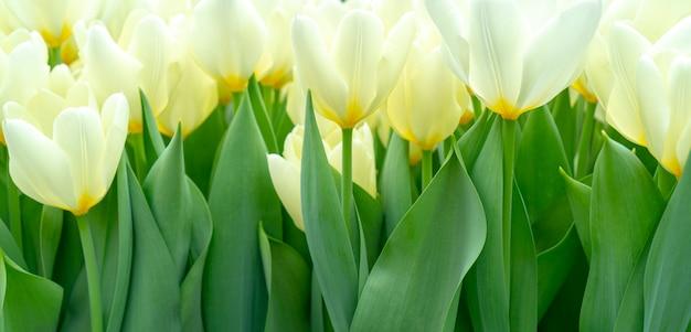 Hermosos tulipanes blancos Foto Premium