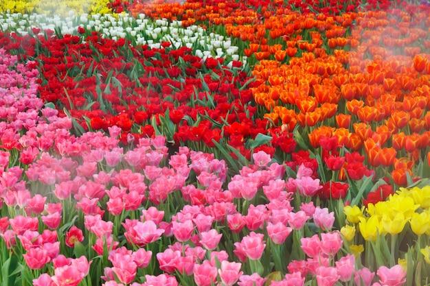 Los hermosos tulipanes en flor en el jardín. flor de tulipanes de cerca bajo iluminación natural al aire libre Foto Premium