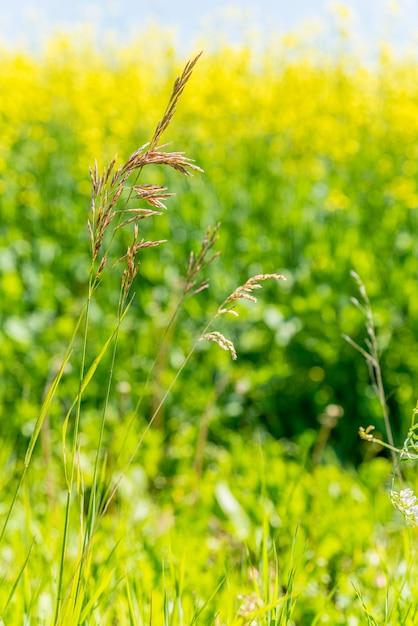 Hierba De Brome Silvestre En Las Praderas De Saskatchewan