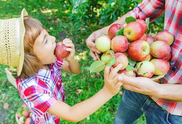 Hija y padre recogen manzanas en el jardín. Foto Premium