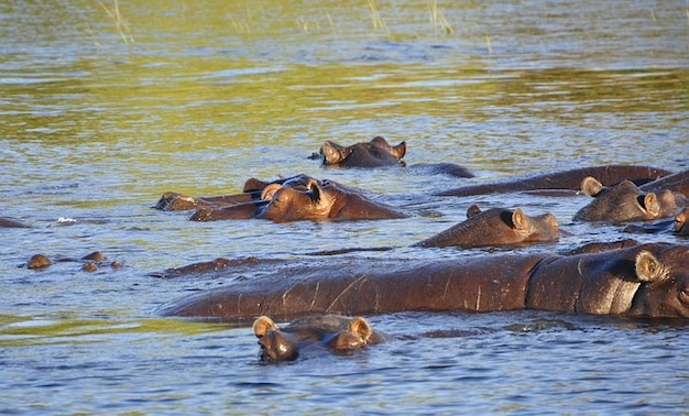 Hipopótamo hipopótamo río chobe agua botswana Foto gratis