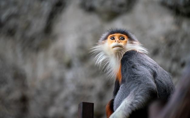 Hoja mono macaco la fauna animal Foto Premium