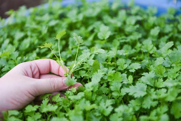 Hoja de la planta de coriandro a mano que escoge en el fondo de la naturaleza del graden. cilantro verde deja vegetales para ingredientes alimenticios Foto Premium