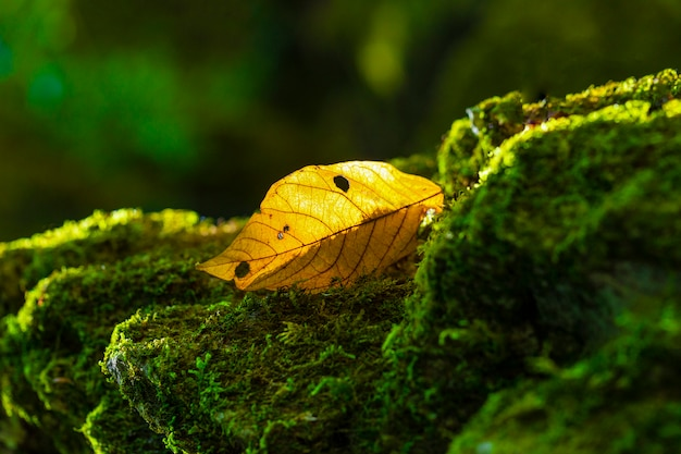 Hojas amarillas en una roca con musgo verde Foto Premium