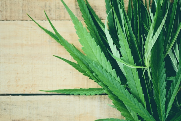 Hojas de cannabis planta de marihuana sobre hoja de cáñamo de madera para extracto de atención médica natural Foto Premium