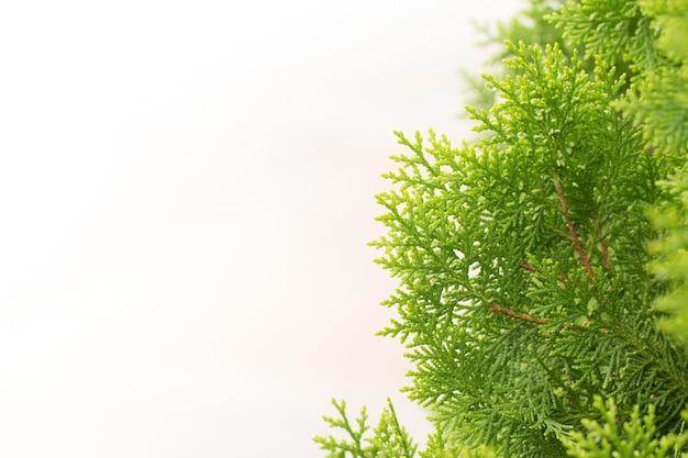 Hojas de pino, fondo de hoja perenne thuja, árbol de invierno y ...