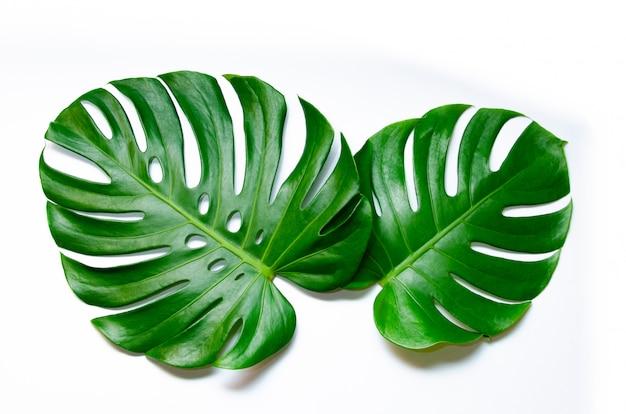Hojas de monstera con hojas aisladas sobre fondo blanco hojas en blanco Foto Premium