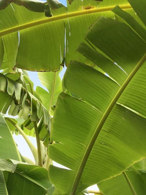 Plátano Hojas Verde En De Fotos Con El AzulDescargar Ramas Cielo sxhrCQdt