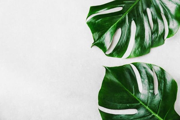Hojas verdes de monstera en gris. Foto gratis