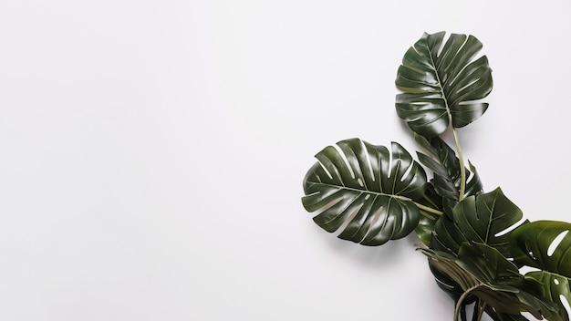 Hojas verdes de monstera sobre fondo blanco Foto gratis