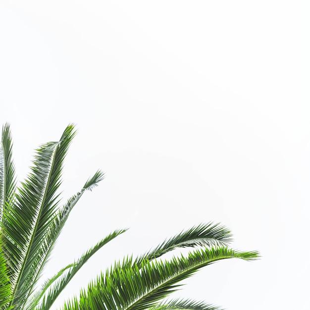 Hojas verdes de palmera aisladas sobre fondo blanco Foto gratis