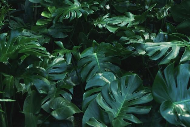 Hojas verdes de la planta de filodendro monstera Foto Premium