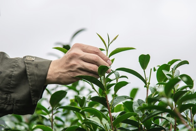 El hombre cosecha / recoge hojas de té verde fresco en el campo de té de tierra alta en chiang mai tailandia Foto gratis