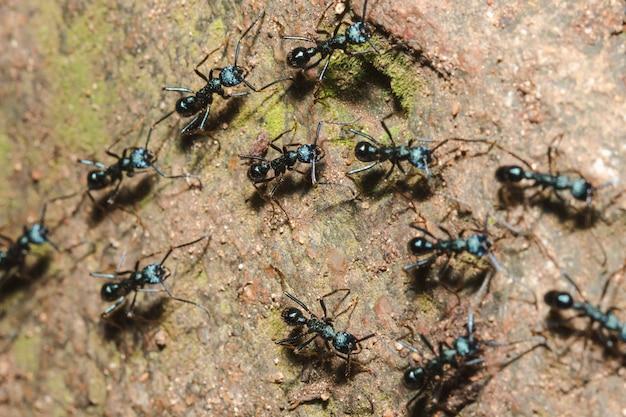 Hormiga negra en el suelo buscando comida. en el nido Foto Premium