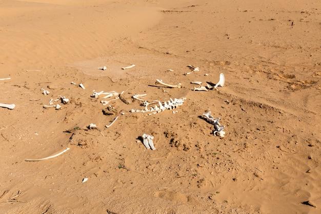Huesos de un animal en el desierto. Foto Premium