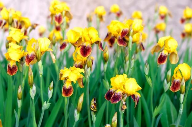 Iiris flores en el jardín de primavera Foto Premium