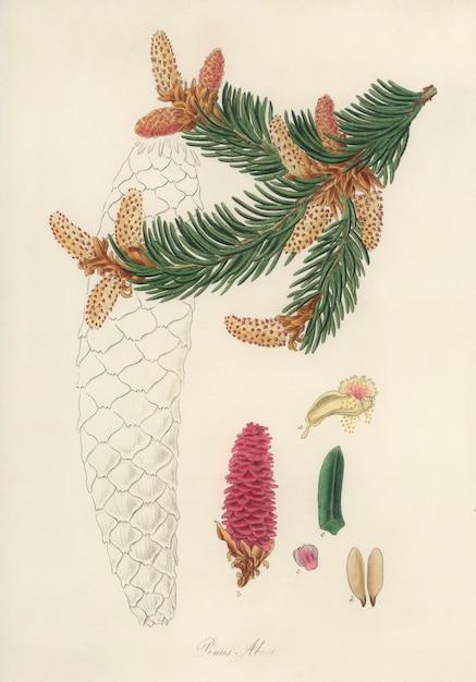 Ilustración de abeto rojo (pinus abies) de medical botany (1836) Foto gratis