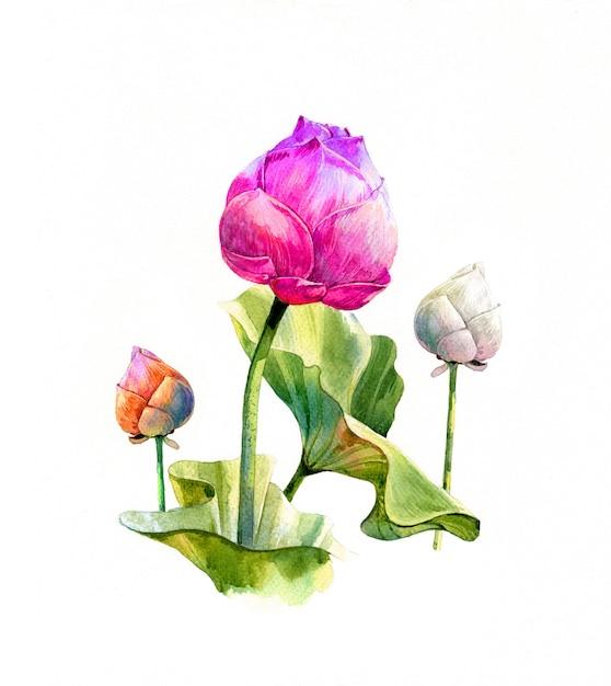Ilustración acuarela pintura de hojas y loto sobre fondo blanco. Foto Premium