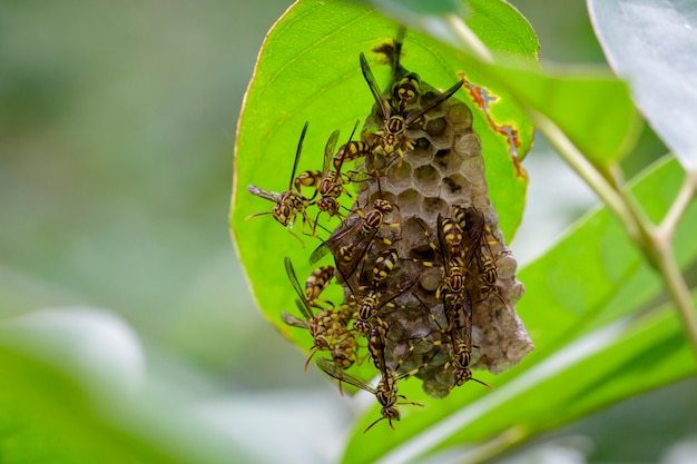 Imagen de una avispa apache (polistes apachus) y un nido de avispas. insecto animal Foto Premium
