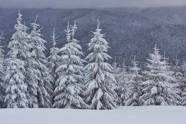 Imagen escénica del árbol spruces. día helado, calma escena invernal. Foto gratis