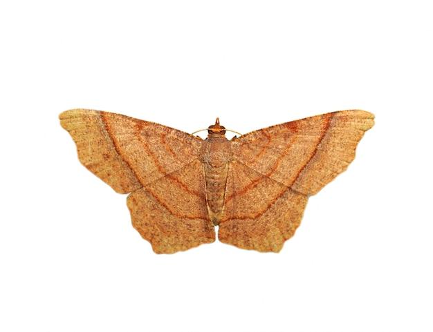 Imagen de mariposa marrón (polilla) aislado sobre fondo blanco. Foto Premium