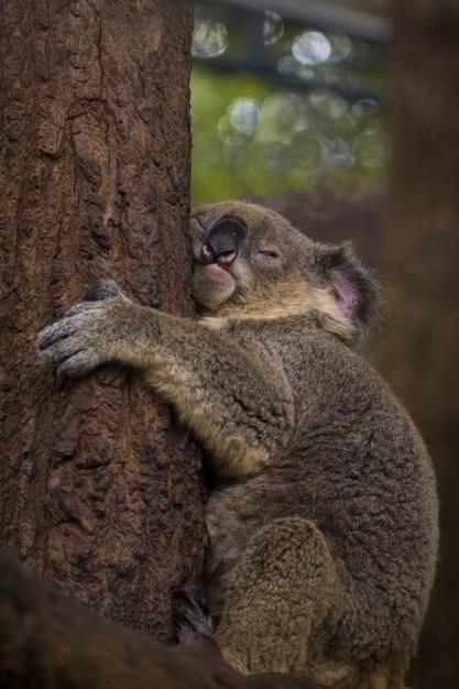 Imagen de un oso koala dormir en el árbol. animales salvajes. Foto Premium