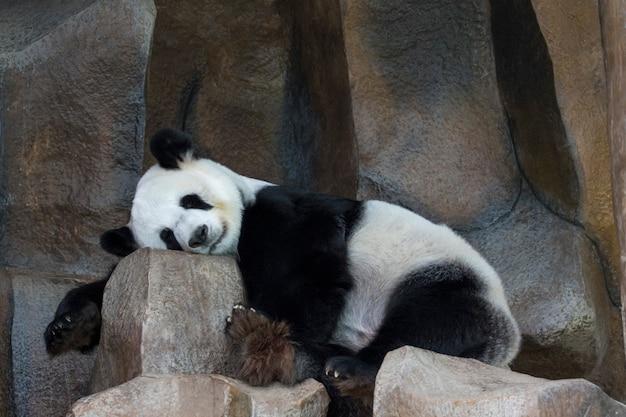 La imagen de un panda está durmiendo en las rocas. animales salvajes. Foto Premium