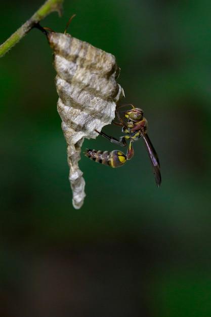 Imagen de una pequeña avispa de papel marrón (ropalidia revolutionalis) y un nido de avispas. insecto animal Foto Premium