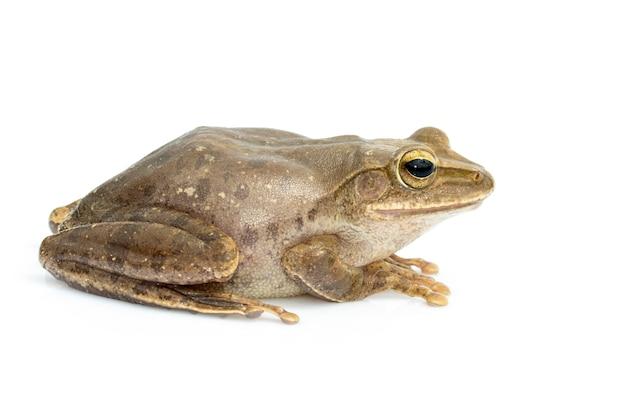 Imagen de rana, polypedates leucomystax, polypedates maculatus. anfibio. animal. Foto Premium