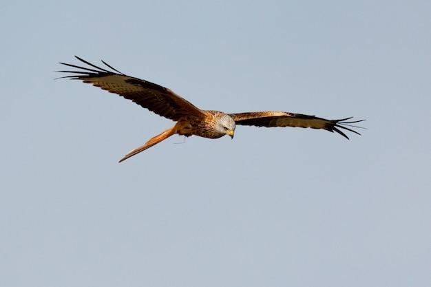 Impresionante ave de rapiña en vuelo Foto Premium