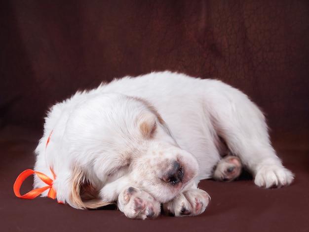 Inglés de la raza del perrito en fondo marrón. Foto Premium
