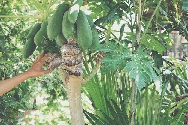Injerto de árboles frutales de papaya Foto Premium