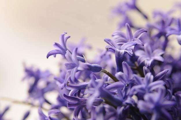 Jacinto de jardín holandés común (hyacinthus orientalis) close up. flores macrois del orientalis de hyacinthus, bulbos del jacinto del jardín, fondo del bokeh. hyacinthus flor en blanco Foto gratis