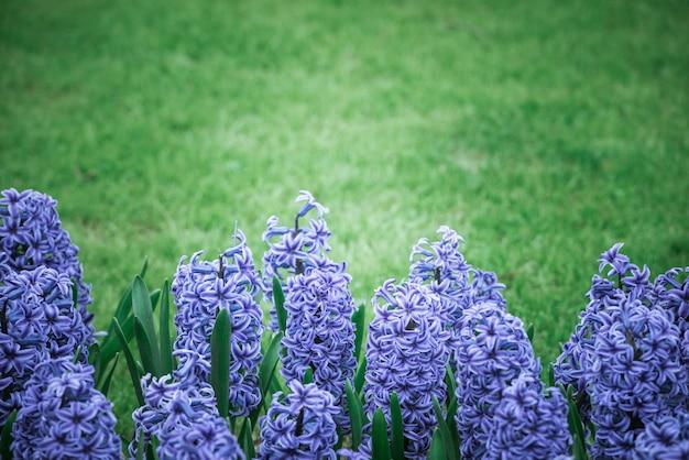 Jacintos de color púrpura brillante en un prado Foto Premium