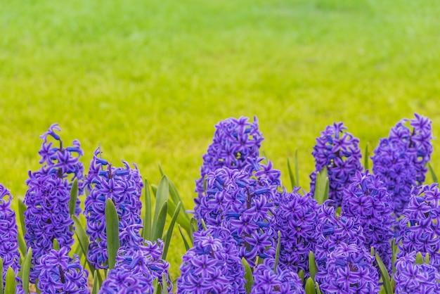 Jacintos morados brillantes en un prado Foto Premium