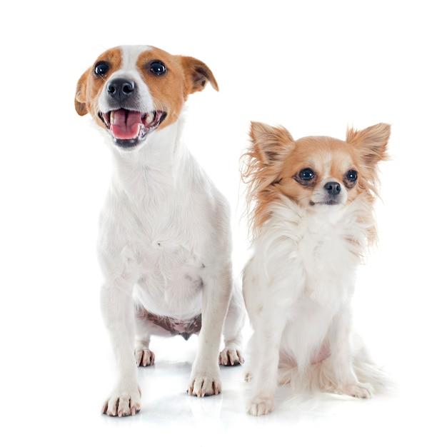 Jack russel terrier y chihuahua Foto Premium