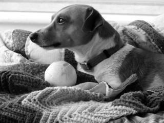jack russell, el perro